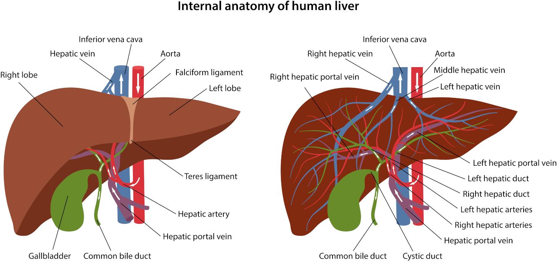 Liver and gall bladder flush
