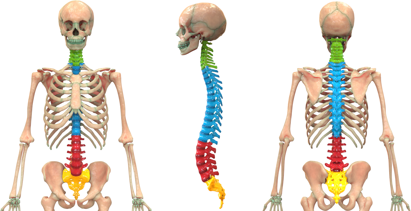 Spinal Massage for Vertebral subluxation and nerve chart with tourmanium